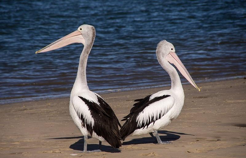 australia-pelicans