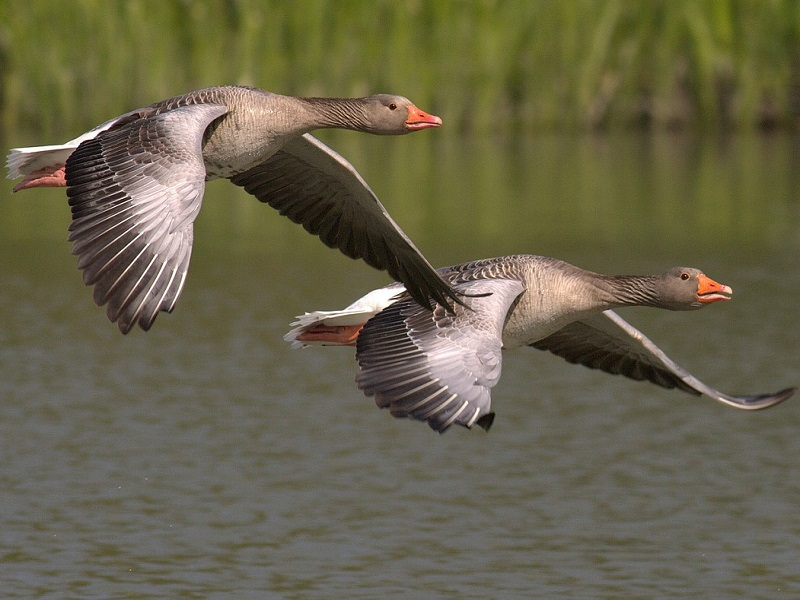 Photo of geese in the wild
