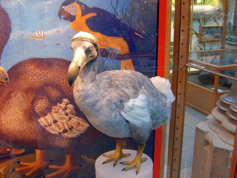 Photo of Dodo Bird in a Mauritius museum