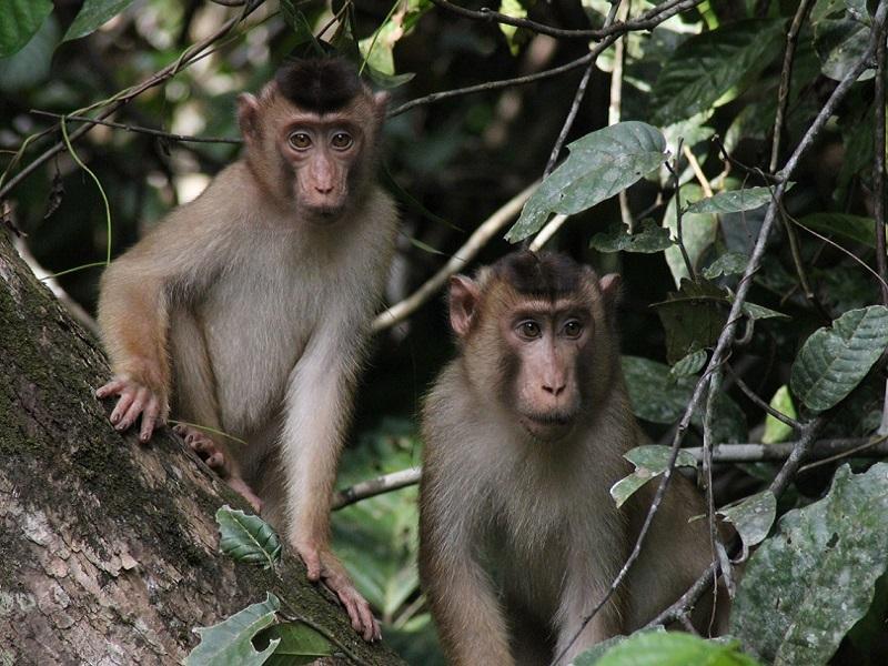 Monkeys in tropical rainforest in Malaysian island Borneo.