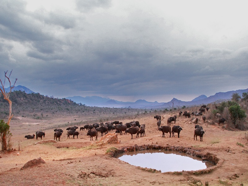 Photo of buffalo's gathering at the watering hole